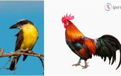 El Pukupuku y el gallo
